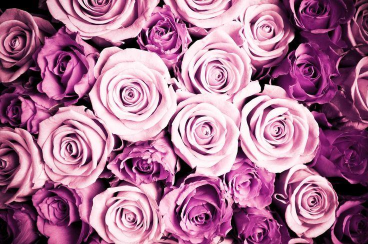 Rosa rosor tapet | Fototapet | Färgglada | Vackra blommor