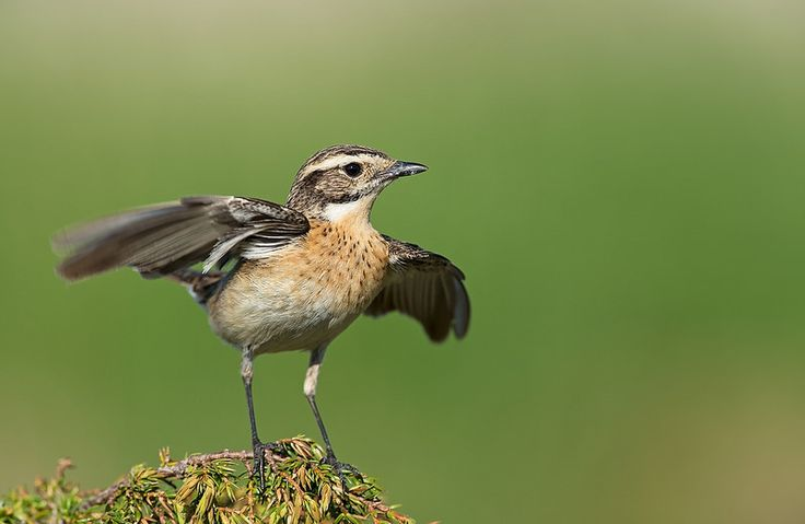 Whinchat F, Norway | by janmangorfagerland