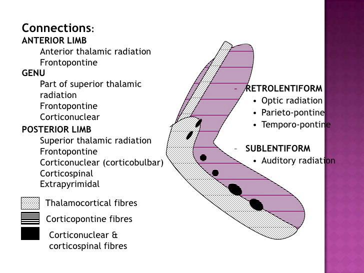 capsula interna anatomy - Google Search