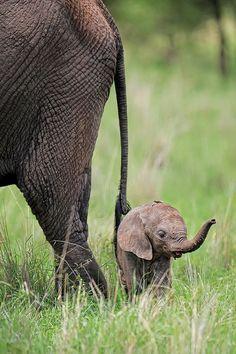 Tiny baby elephant - Tanzania
