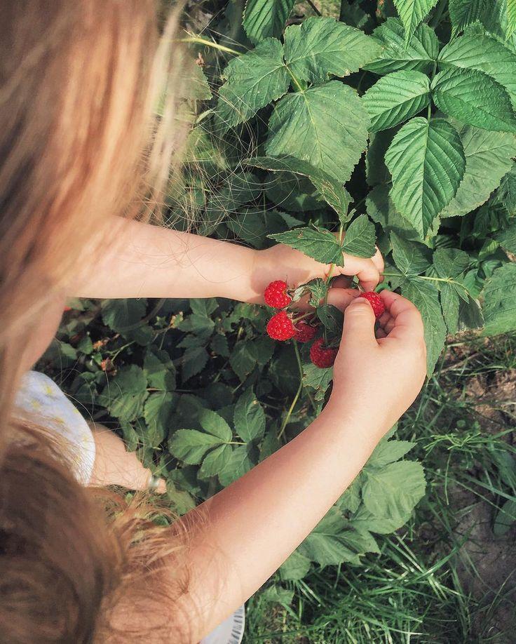 Впервые собирать малину 💓 всем чудесного воскресенья 🍥