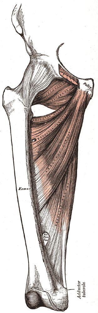 Os adutores são um conjunto de músculos que se estendem pela face interna da coxa, desde a virilha até ao joelho.   A principal função d...