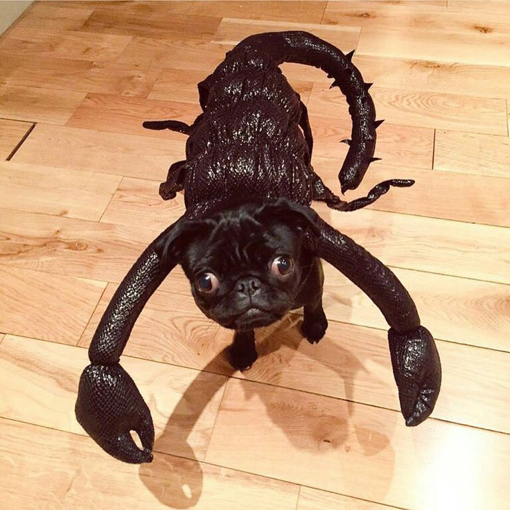 """Everyone go home, Zoella's pug Nala has won Halloween (RG: @zozeebo)"""