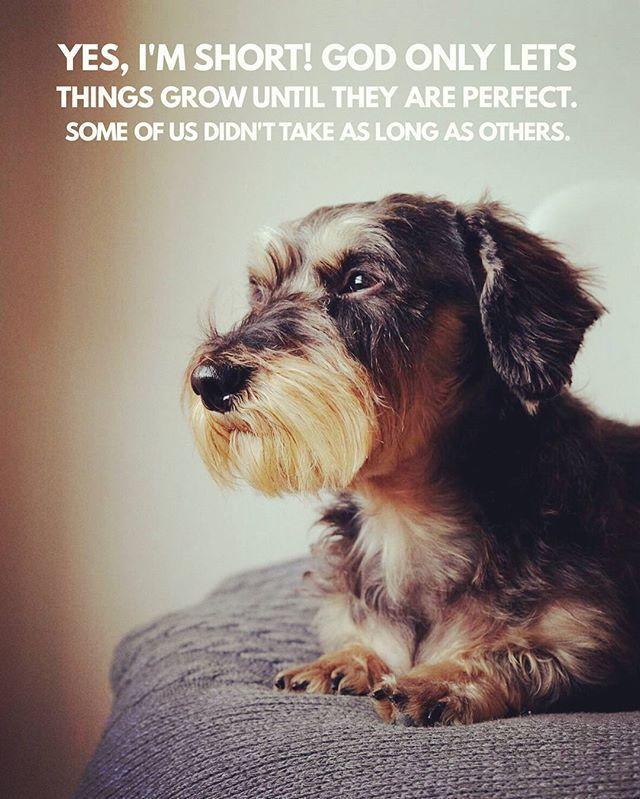 Wise little wirehaired dachshund