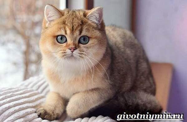 Golden Cat British Shorthair Cats Beautiful Cats Cats