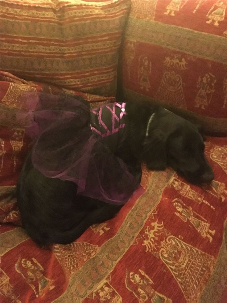 Flat coat retriever puppy 19 weeks, Halloween costume