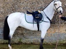 Pony Club Ponies horse - 8 yrs 14.2 hh Dun - Cambridgeshire for sale in Cambridgeshire, Eastern :: Horsemart