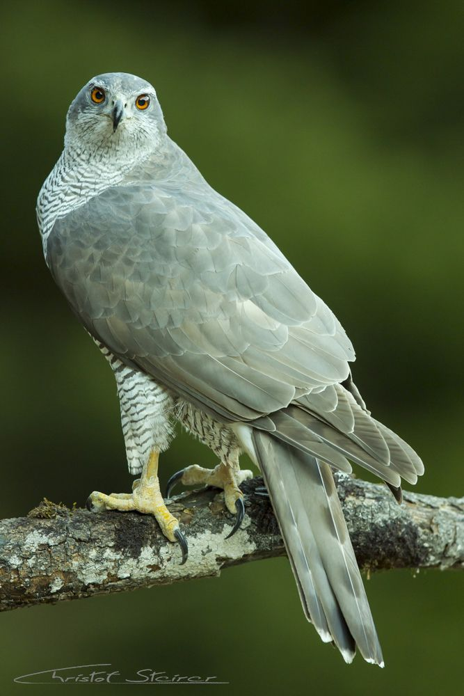 The Northern Goshawk