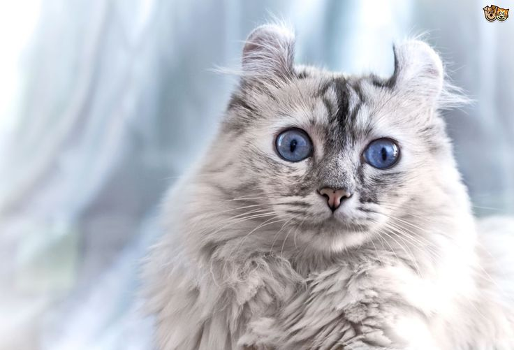 All American Curl cats in the USA today are descended from Shulamith, the original foundation cat of the breed. Description from pets4homes.co.uk. I searched for this on bing.com/images