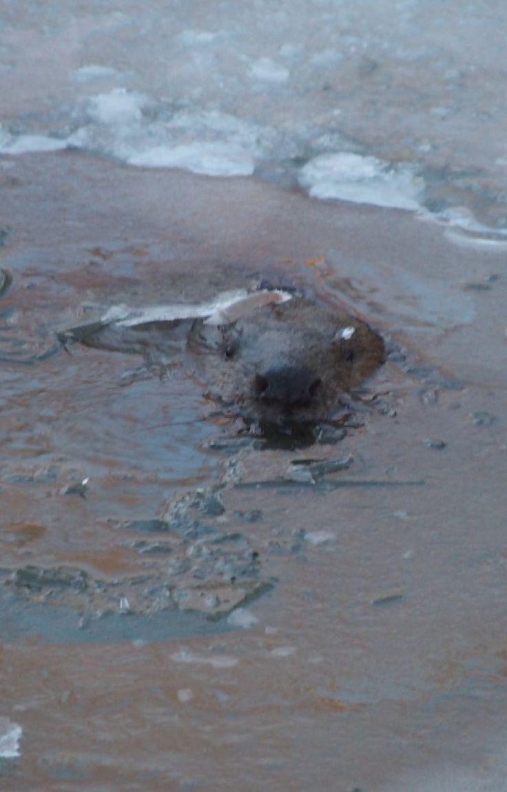 To nie mors, lecz bóbr. Spoglądał na Reportera 24 spod lodu - http://kontakt24.tvn24.pl/sg/to-nie-mors-lecz-bobr-spogladal-na-reportera-24-spod-lodu,189923.html