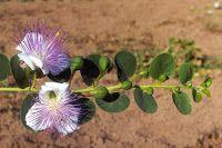 #fioridicappero #allergie #quercetina #kempferolo #flavonoidi #antistaminico  Tutto cominciò...: Estratti di fiori di cappero contro le allergie