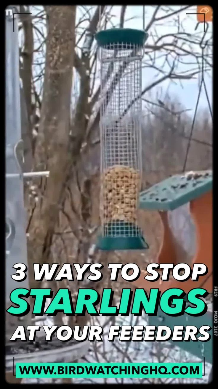 3 proven ways to get rid of starlings today video video