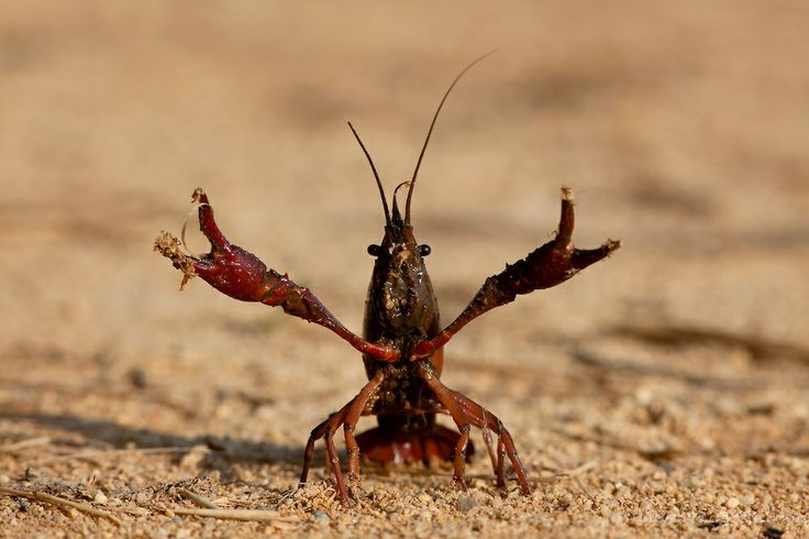 Louisiana Crayfish. Vouga Wetlands, Portugal