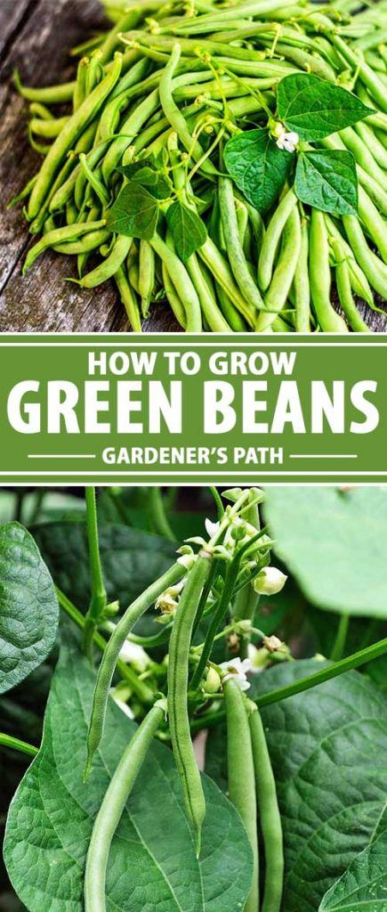 Green beans are the way to go if you need a win this garden season. They are quick to germinate and, depending on the variety, mature within two months. This means you can sow seeds repeatedly, well into the growing season, for multiple harvests. Want to learn how to grow your own? Read more now on Gardener's Path.