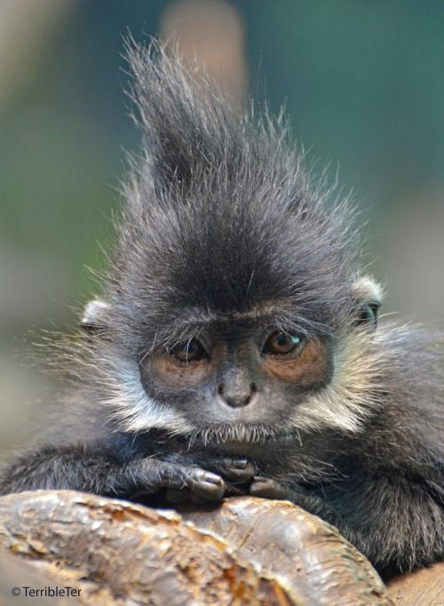 Francois' Langur // TerribleTer | Every birthday Gigeo greeting you send from http://WhoLovesYou.ME helps animals world wide. | LIKE us on http://www.facebook.com/BirthdayGigeo and help protect the world's wildlife. | #animalphotos #IFAW