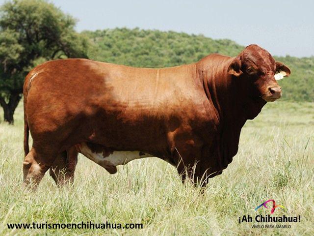 En nuestro país las principales ganaderías que se desarrollan son la bovina, porcina, ovina y caprina. La ganadería bovina fue introducida en México durante la época de la colonización, existe ganado vacuno lechero, cárnico y doble propósito. Las razas más importantes que se crían son la Angus, Hereford, Charolais, Beefmaster y Pardo Suizo Europeo. Chihuahua, está dentro de los primeros lugares a nivel nacional en la exportación de ganado bovino por su excelente calidad…