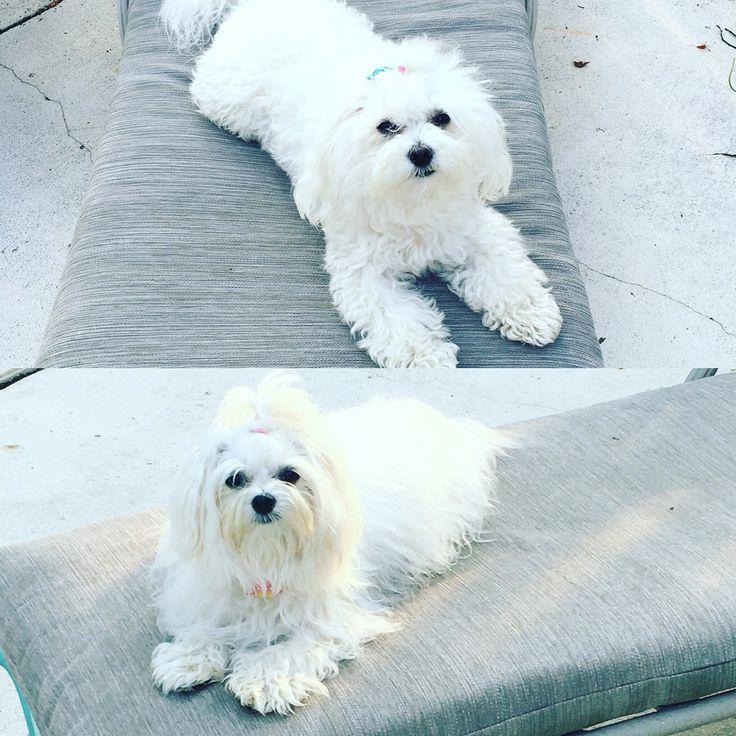 Lilly & Bella poolside Maltese