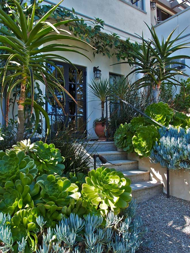 Entrance flanked by huge green-leafed Aeonium undulatums, and blue-leafed Senecio mandraliscae.