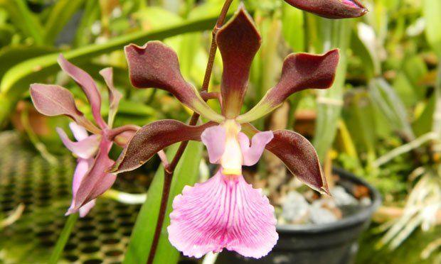 Orquídea Catlleya Mossiae  Esse tipo de orquídea gosta de clima ameno e floreia na primavera e no inicio do verão. Possui flores com variedades rosadas, albas e azuladas. As flores maiores têm aroma que lembra o alho. Dica: deixar em ambiente com ventilação