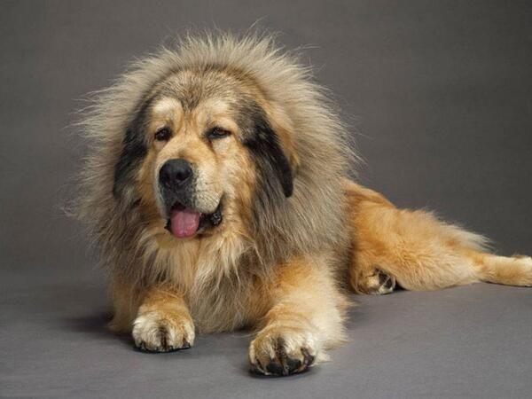 先日、中国の動物園でライオンと称した犬が展示されていたという笑えるニュースがあったが、実際に展示されていたチベタン・マスティフという犬の写真を入手しました。なるほど、これならギリギリ…イヤ、ないない!