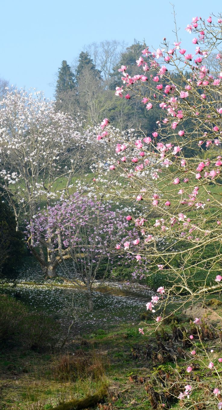The giants of our #magnolia collection - the campbellii species make a happy interruption to the view towards the #maze at #Glendurgan #near #Falmouth in #Cornwall  #Spring #garden #flowers