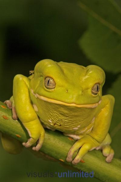 Painted Monkey Frog ,Phyllomedusa savaugi,
