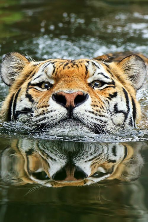 tiger, tiger burning bright with a great reflection of your beauty.