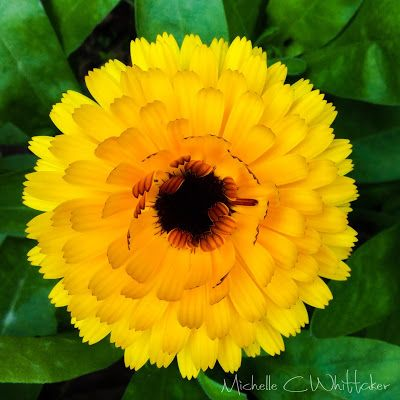 Loving This Time Of Year, calendula flower