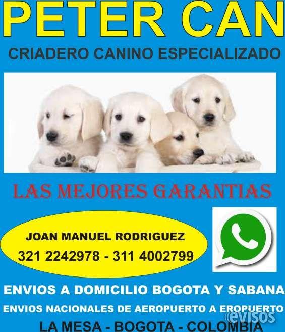 vacunados y desparasitados golden retriever labrador cocker beagle french poodle mini toy  Detalles del aviso  TENEMOS PIE DE CRIE GARANTIZAMOS LOS CACHORROS EN SALUD Y RAZA CARNET DE ...  http://bogota-city.evisos.com.co/vacunados-y-desparasitados-golden-retriever-labrador-cocker-beagle-french-poodle-mini-toy-id-446263