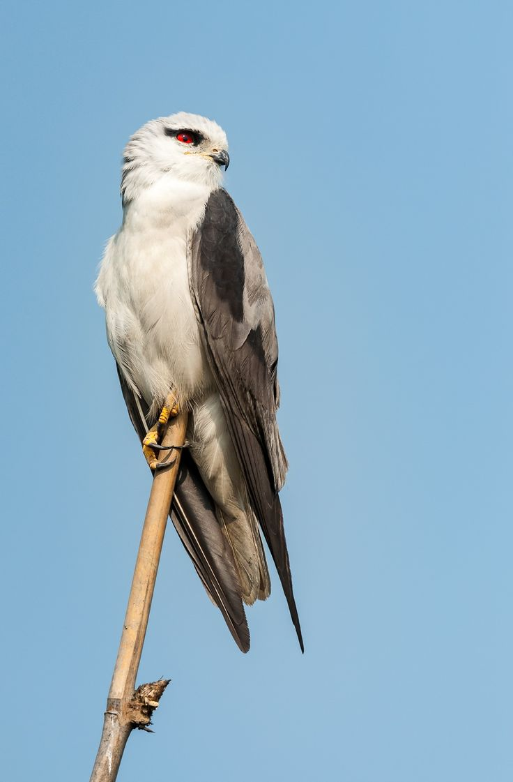 Bird of prey, Black-shouldered Kite, Elanus caeruleus, perched on bamboo pole by Srijan Roy Choudhury on 500px