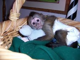 Baby capuchin monkey pet