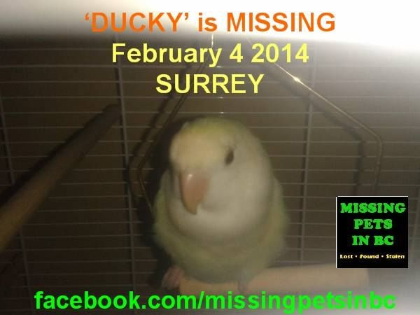 'DUCKY' the LOVEBIRD is MISSING in SURREY 148th & 111a St - FEBRUARY 4 2014