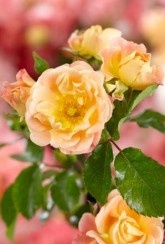 Hanging basket Rose -Drift Peach