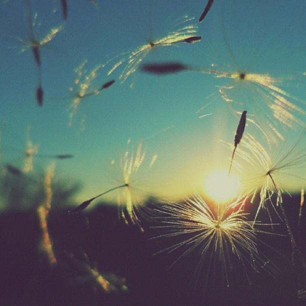 Dandelions blowing in the wind