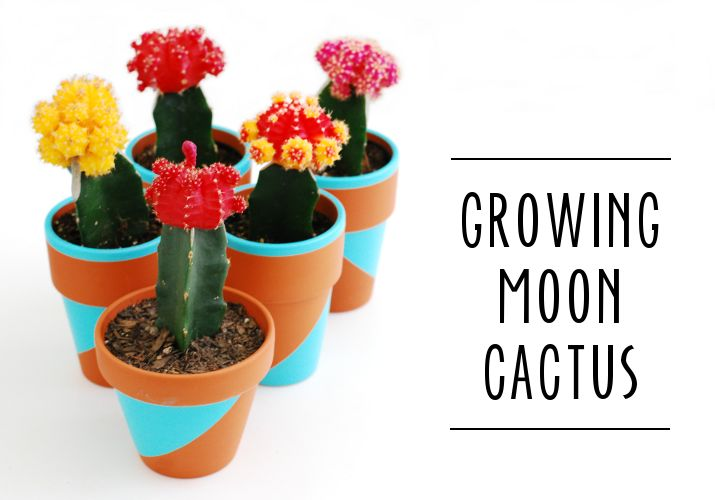 Grafted moon cacti are fun and colorful -- and easy for young plant lovers to take care of.