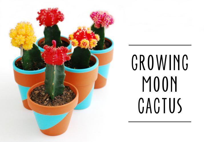 Growing Moon Cactus #diy #garden