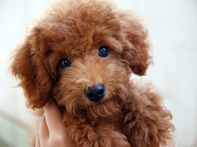| lovable toy poodle