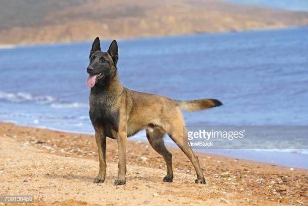 Dogs Belgian Malinois Google Search Belgian Malinois Malinois Dogs