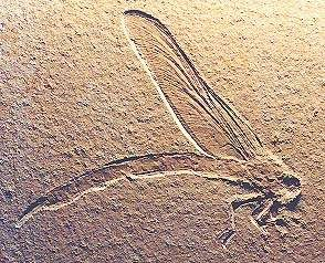 Fossil dragonfly, Isophlebia aspasia, Upper Jurassic, 163.5 to 145 million years ago