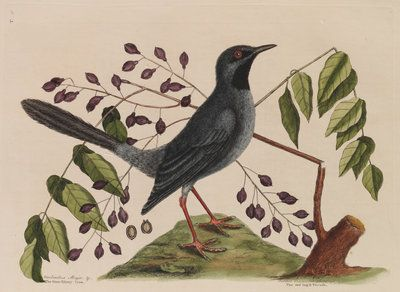 The 'red leg'd thrush' and the 'gum-elimy tree' by Mark Catesby - print