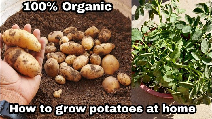 Potatoes Good or Bad? How much potato can be consumed