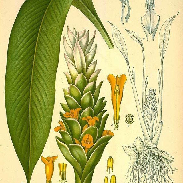 """Turmeric (Curcuma longa) is a plant in the ginger family (Zingiberaceae), and like its cousin ginger has been a staple of Indian food traditions for millennia and has at least 4000 years of use in Ayurvedic, Traditional Chinese, and Siddhic medicinal traditions. Turmeric is known in Sanskrit as Kanchani, the """"Golden Goddess"""" and other spiritually-oriented names (Gallant, n.d.), alluding to its use in sacred ceremonies and offerings as well as the reverence people have for this powerful…"""