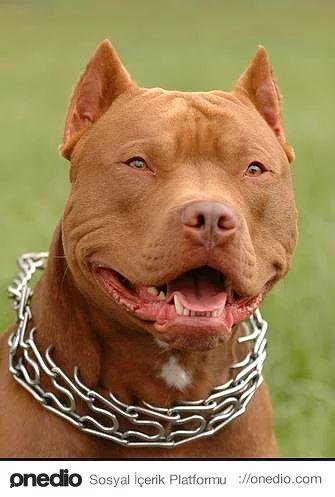 """Pitbull - Asıl adı American Pit Bull Terrier olan bu Mastif türü köpek ırkı herhalde dünyanın en popüler köpek türlerinden bir tanesidir ancak şöhretlerinin pek de olum yönde yayıldığı söylenemez. 90′lı yıllardan itibaren bizim medyamızda da yer alan """"Pitbull Dehşeti"""" haberleri sayesinde insanların aklına tehlikeli köpek denince ilk gelen tür oldular. Gerçekten de atletik vücutları, kısa bacakları ve güçlü çeneleriyle ilk bakışta ürküten bu türün aslında oldukça sadık ve uysal bir hayvan…"""