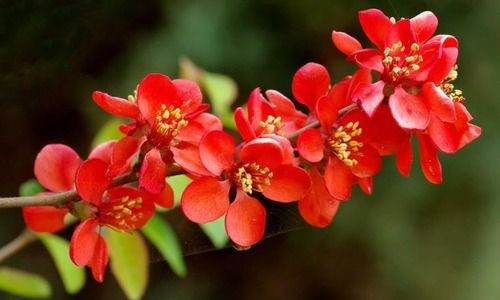 Chaenomeles x superba 'Crimson and Gold', Japanese Quince 'Crimson and Gold', Flowering Quince 'Crimson and Gold', Japanese Flowering Quince, Red flowers, Early Spring blooms