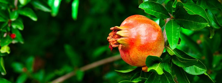 Margotta: per riprodurre le piante del terrazzo  Ficus, melograno, limone, olivo sono alcune tra le piante che possono essere moltiplicate facilmente con la tecnica della margotta. Riesce facilmente anche ai principianti, ma bisogna conoscere la tecnica. http://www.cosedicasa.com/margotta-per-riprodurre-le-piante-del-terrazzo-96062/