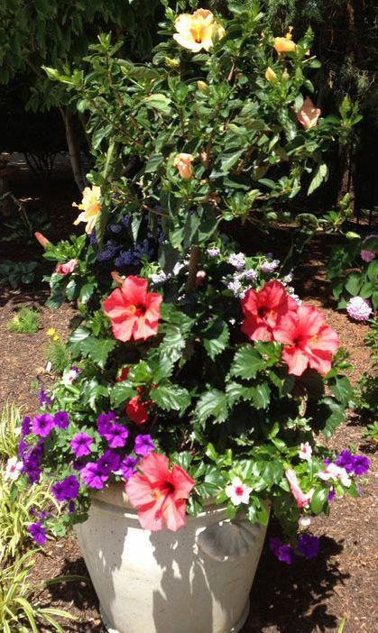 A Yellow Hibiscus Tree Is Coupled With Wave Petunias Vinca And An
