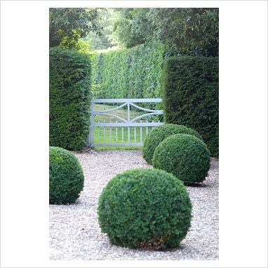Buxus sempervirens - Box balls in gravel with Taxus hedge and white gate at Heveningham, Suffolk -  photography, Zara Napier