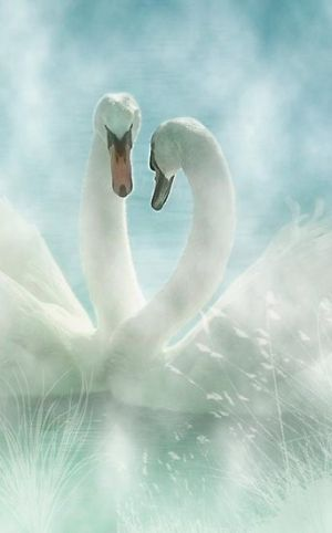 Swans...watching swans float on the waters so gracefully is a beautiful visual. They are lovely: