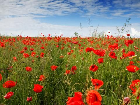 study in flander fields To this day, john massacre's poem in flanders fields remains one of the most memorable war poems in history he strongly learns on the use of imagery within each stanza of the poem to convey his mint.