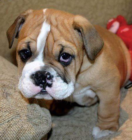 Ras: Engelse Bulldog  |  Rasgroep: Pinschers, Schnauzers, Molossers en Zwitserse Sennenhonden